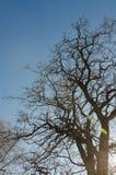 Gałąź drzewo przeciw niebieskiemu niebu Fotografia Stock