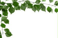 Gałąź drzewo z zielonymi liśćmi Bia?y t?o, kopii przestrze? dla teksta fotografia stock