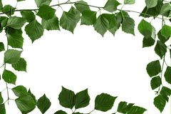 Gałąź drzewo z zielonymi liśćmi Bia?y t?o, kopii przestrze? dla teksta zdjęcie stock