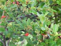 Gałąź dzikie jagody Zdjęcie Stock