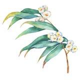 Gałąź Eukaliptusowi melliodora kwiaty, zasadza także zna jako koloru żółtego pudełka dziąsło ilustracji