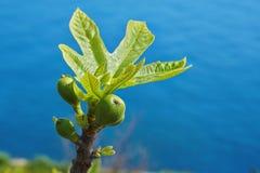 gałąź figi drzewo z niewyrobioną figą Fotografia Stock