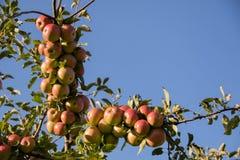 Gałąź foluje czerwoni jabłka pod lata niebem obraz royalty free