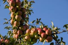 Gałąź foluje czerwoni jabłka pod lata niebem fotografia royalty free