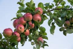 Gałąź foluje czerwoni jabłka pod lata niebem zdjęcie royalty free