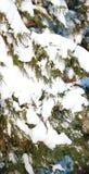 gałąź futerka śniegu drzewo Zdjęcie Royalty Free