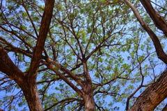 Gałąź i kij, Podeszczowy drzewo Obrazy Stock