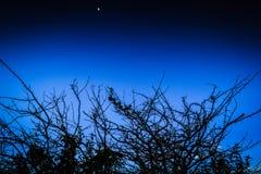Gałąź i księżyc Obraz Royalty Free