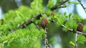 Gałąź i rożki iglastego drzewa Dahurian modrzewiowy chlanie w wiatrze, 4K zbiory
