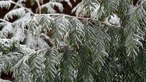 Gałąź iglastego drzewa tuja zakrywająca z błyszczącym hoarfrost Fotografia Stock