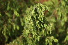 Gałąź iglasty drzewo Obrazy Royalty Free