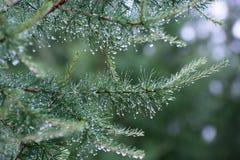 Gałąź iglasty drzewo Zdjęcia Royalty Free