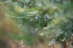 Gałąź iglasty drzewo Zdjęcie Royalty Free