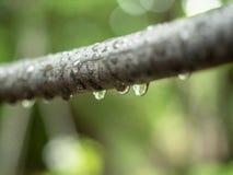Gałąź jaśnienie deszcz pełno opuszcza w ogródzie, zakończenie w górę widoku Odgałęzienie rośliny lśnienie w świetle dziennym z kr zdjęcia royalty free