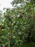 Gałąź Jabłczana owoc Zdjęcia Stock