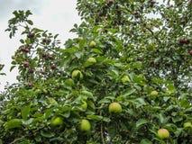 Gałąź Jabłczana owoc Obrazy Royalty Free