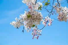 Gałąź jabłczanego okwitnięcia drzewny kwiat Fotografia Royalty Free