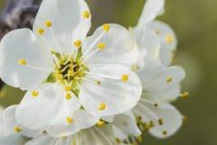 Gałąź jabłko w białym kwiacie, zakończenie w górę obraz stock