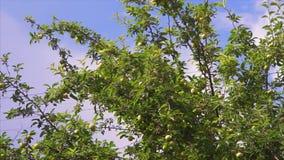 Gałąź jabłoń zdjęcie wideo