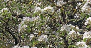 Gałąź jabłoń w kwiatach, Normandy w Francja, zwolnione tempo zbiory