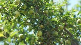 Gałąź jabłonie zbiory