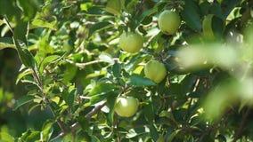 Gałąź jabłonie zbiory wideo