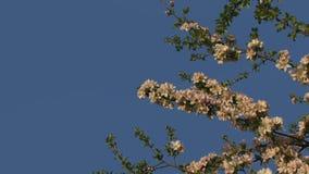Gałąź jabłonie Przeciw niebu zdjęcie wideo