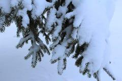 Gałąź jadł pod śniegiem w zimie w lesie fotografia royalty free