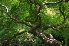 Gałąź Japoński Klonowy drzewo obraz royalty free