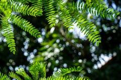 Gałąź jaskrawy - zielona wiosna opuszcza przedpole z ciemnym gree obrazy royalty free