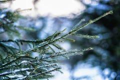 Gałąź jedlinowy drzewo Zdjęcia Royalty Free