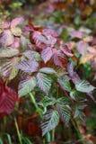 Gałąź jesieni czernica Obraz Royalty Free