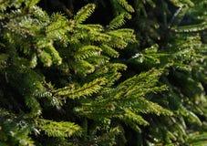gałąź jodły zieleń Obraz Stock