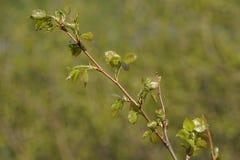 Gałąź Karelian brzoza z potomstwami opuszcza na zamazanym tle zielona trawa Zdjęcie Stock