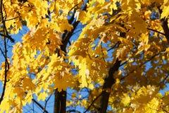 Gałąź klon przeciw niebu Jesieni fotografia zdjęcie stock