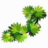 Gałąź klonowego drzewa liście również zwrócić corel ilustracji wektora Zdjęcia Royalty Free
