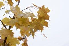 Gałąź klonowy drzewo z kolorów żółtych liśćmi i śnieg na one Zdjęcie Stock