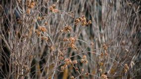 Gałąź krzaki i drzewa kędzierzawi, więdnący kije, tło tekstury stara ceglana ściana zdjęcie stock