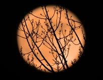 Gałąź księżyc w pełni i sylwetka Fotografia Royalty Free