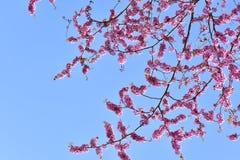 gałąź kwiatów różowy Obraz Royalty Free