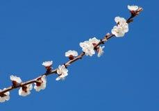 gałąź kwiatów wiśni zdjęcia stock