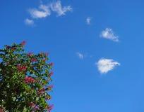 Gałąź kwiatonośni kasztany przeciw niebieskiemu niebu Obrazy Royalty Free