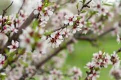 Gałąź kwiatonośni migdały w wiośnie Fotografia Stock