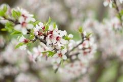 Gałąź kwiatonośni migdały w wiośnie Obraz Stock