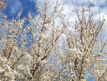 Gałąź kwiatu białych kwiatów drzewna wiosna zdjęcia stock