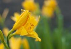 Gałąź kwiatu Hemerocallis lilioasphodelus (także dzwoniący cytryny leluja, Żółty Daylily, Hemerocallis flava obrazy stock