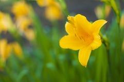 Gałąź kwiatu Hemerocallis lilioasphodelus (także dzwoniący cytryny leluja, Żółty Daylily, Hemerocallis flava obraz royalty free