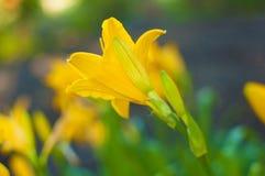 Gałąź kwiatu Hemerocallis lilioasphodelus (także dzwoniący cytryny leluja, Żółty Daylily, Hemerocallis flava zdjęcie royalty free