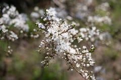 Gałąź kwitnąć białej wiśni w wiosna ogródzie zdjęcie royalty free