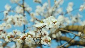 Gałąź kwitnąć morele przeciw niebieskiemu niebu zbiory